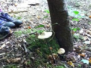 champignons au pied de randonneurs, en sous-bois dans les Vosges