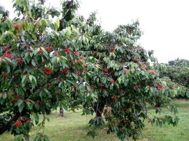 Les cerises peuvent se trouver dans la nature, bien rouges, presque pourpres, mûres en Septembre