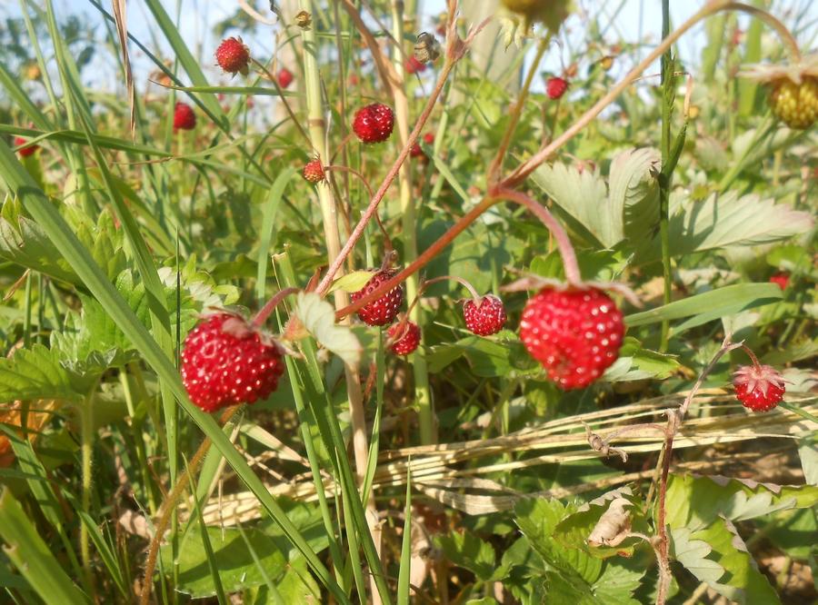 Les fraises des bois ; plus petites mais toujours juteuses et parfumées